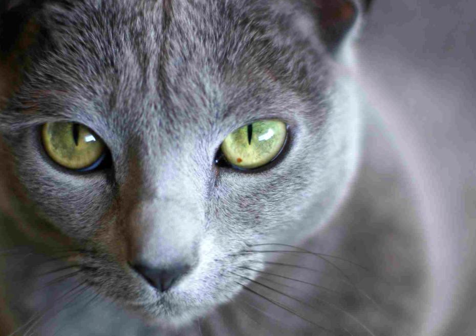 О русских голубых кошках